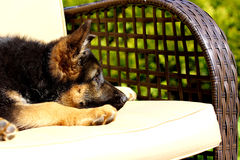 Puppy on the chair Royalty Free Stock Photography