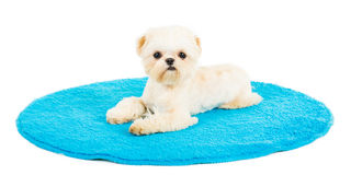 Puppy on the chair. Picture of a small pekingese puppy on a blue Mat Stock Photography