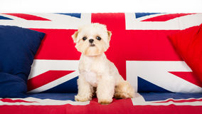 Puppy on the chair. Picture of a small pekingese puppy on a union jack sofa royalty free stock photo