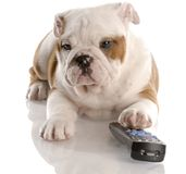 Puppy channel surfing Stock Image