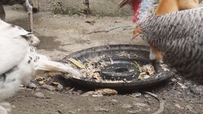 Puppy chase turkey over food. Turkey pecking leftover food chased by puppy stock video