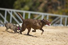 Puppy chases brown Lab Royalty Free Stock Photo