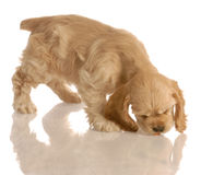 Puppy chasing piece of dog food Stock Image