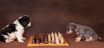 Puppy chess Stock Photo