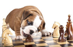 Puppy and chess piece. Puppy english Bulldog and chess piece royalty free stock photos