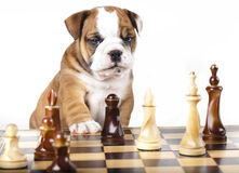 Puppy and chess piece. Puppy english Bulldog and chess piece stock photo