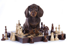 Puppy and chess on a white background Stock Images