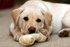 Puppy and Chew Toy. A relaxed Yellow Labrador Retriever puppy rests with one paw holding a rawhide chew toy Stock Photography