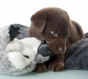 Puppy with chew toy Stock Photography