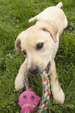 Puppy with chew toy. A labrador puppy chewing on his toy Royalty Free Stock Photography