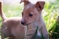 Puppy chewing a blade of grass stock images