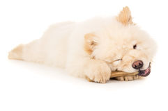 Puppy chewing on a bone isolated Stock Images