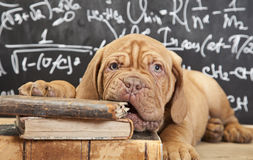 Puppy chewing a book. Puppy of Dogue de Bordeaux (French mastiff) chewing a book Royalty Free Stock Photos