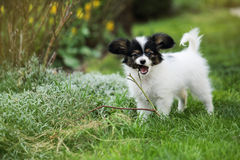 Puppy chewing on branches Stock Image