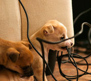 Puppy chewing electric cord. Red puppy chewing electric wire Royalty Free Stock Photos