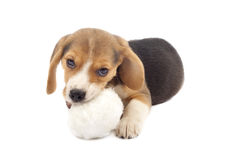 Puppy chewing on a fur ball Stock Photos