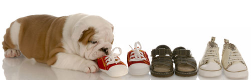 Puppy chewing on line of shoes Stock Photography