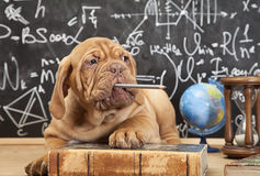 Puppy chewing a pencil. French Mastiff puppy chewing a pencil in front of blackboard Stock Photo