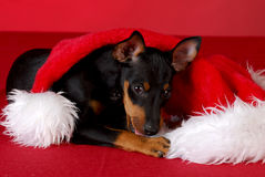 Puppy chewing on santa hat Royalty Free Stock Photos