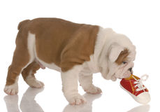 Puppy chewing on shoe Stock Image