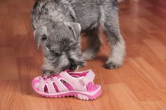 Puppy chewing on a shoe stock images