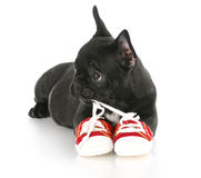 Puppy chewing shoes. French bulldog puppy chewing on pair of red running shoes with reflection on white background Stock Photos