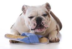Puppy chewing slipper Stock Photo