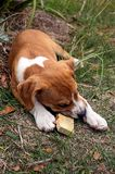 Puppy chewing a stick Royalty Free Stock Photos