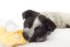 Puppy chewing Stock Photo