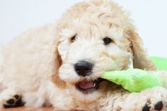 Puppy chewing toy. Cute puppy dog chewing a toy Stock Images