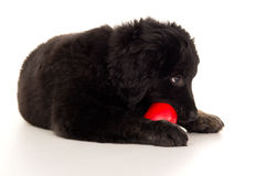 Puppy chewing on a toy Royalty Free Stock Photography