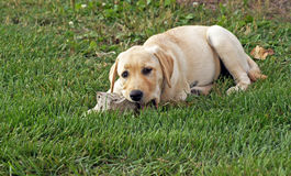 Puppy chews on rock. Yellow lab puppy chews on a rock Royalty Free Stock Photos
