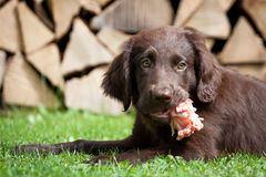 Puppy it a chicken carcass Stock Photo