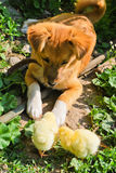Puppy and chickens Royalty Free Stock Photography