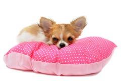Puppy chihuahua Stock Photos