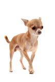 Puppy chihuahua Royalty Free Stock Photo