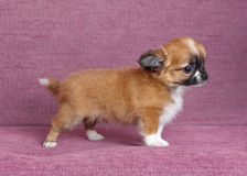 Puppy of the Chihuahua Royalty Free Stock Photo