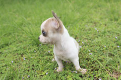 Puppy chihuahua Stock Photo