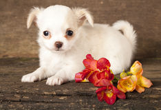 Puppy Chihuahua Stock Images