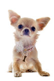 Puppy chihuahua Royalty Free Stock Image