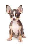 Puppy Chihuahua Royalty-vrije Stock Afbeelding