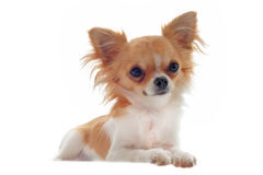 Puppy chihuahua Royalty Free Stock Images