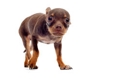 Puppy chihuahua afraid Royalty Free Stock Photo