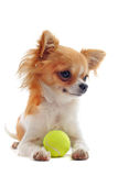 Puppy chihuahua and ball Stock Photo