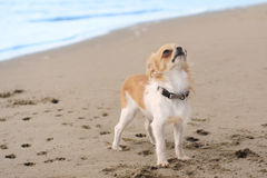Puppy chihuahua on the beach Stock Images