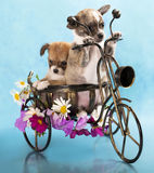 The puppy chihuahua on a bicycle Stock Image