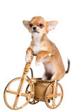 The puppy chihuahua on a bicycle Royalty Free Stock Images