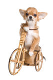 The puppy chihuahua on a bicycle Stock Photo