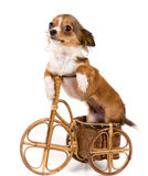 The puppy chihuahua on a bicycle Royalty Free Stock Photo