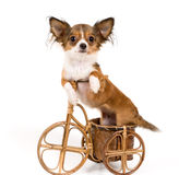 The puppy chihuahua on a bicycle Royalty Free Stock Image